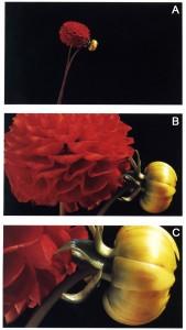 In queste tre immagini realizzate da Michael Freeman possiamo vedere le differenze tra i vari rapporti di riproduzione: (A) 0.1x (B) 0.5x (C) 1.0x (il fiore in grandezza naturale) - courtesy of M. Freeman