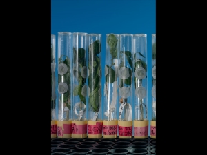 Ph.: C. Cutler -Maryland, USA. Piante geneticamente modificate per produrre antibiotici (copyright National Geographic)