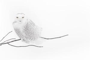 Vincent Munier, Gufo delle nevi. Canada 2006